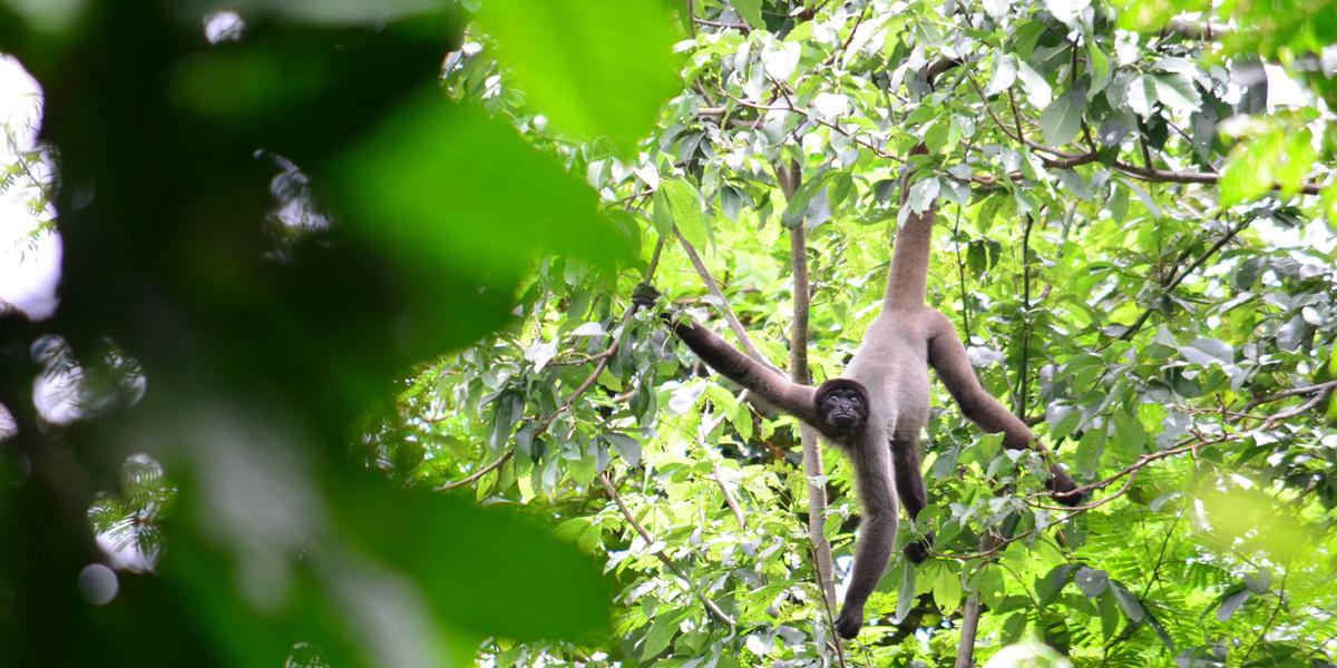 Espécie de macaco da Amazônia pode perder até 59% de habitat nos próximos 40 anos, aponta estudo