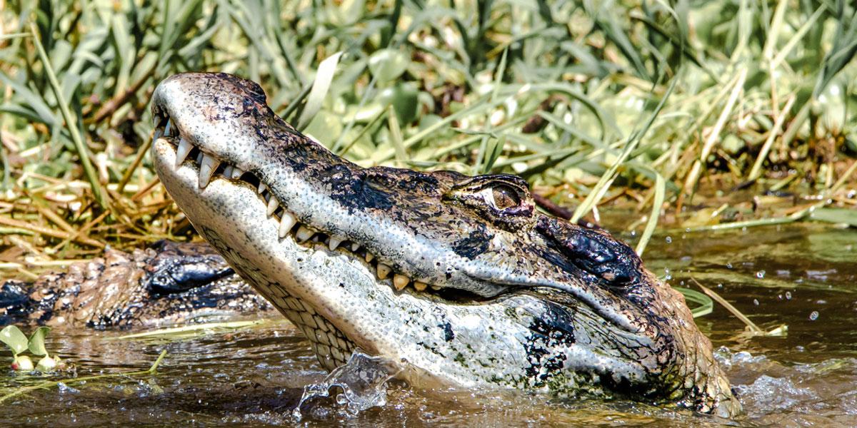 Três diferenças entre crocodilos e jacarés