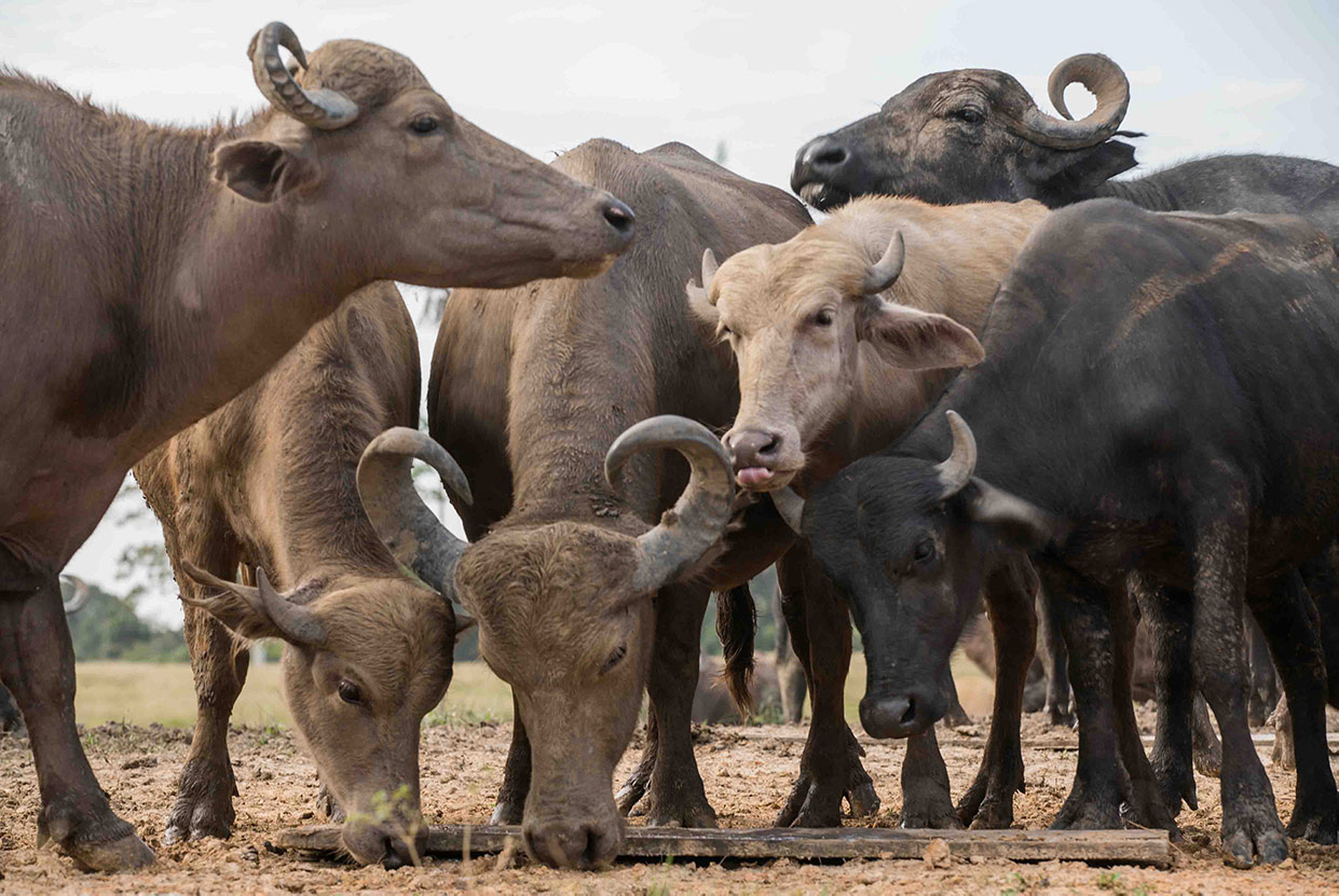 Oficina apresenta manejo agroecológico de gado para ribeirinhos de reserva da Amazônia