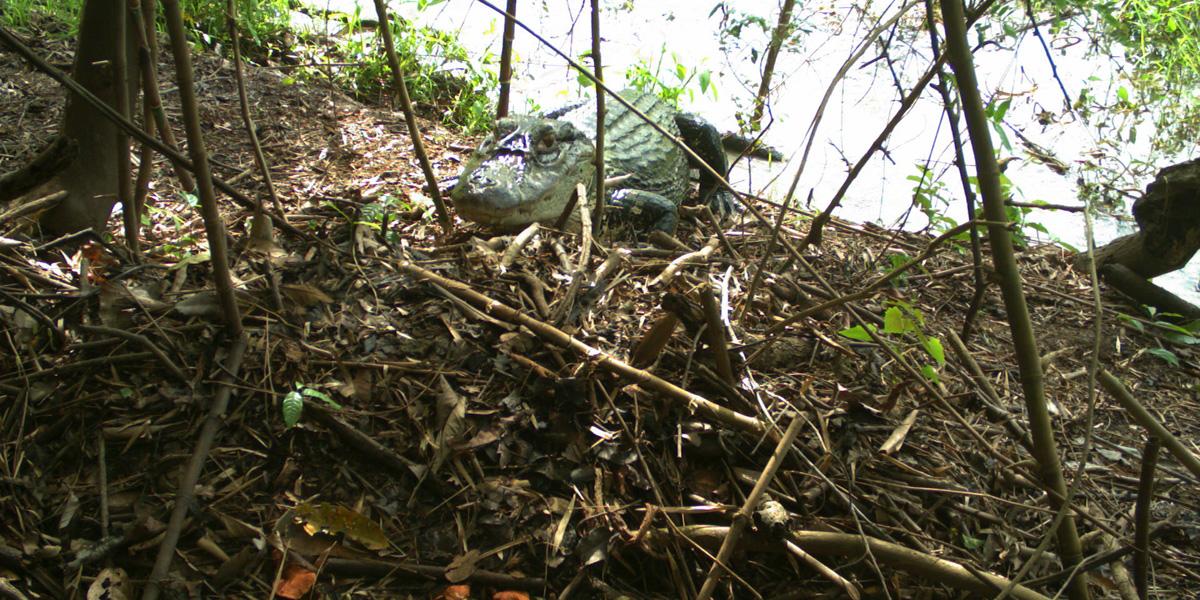 Armadilhas fotográficas são usadas para monitorar predadores e comportamento de jacarés na Amazônia