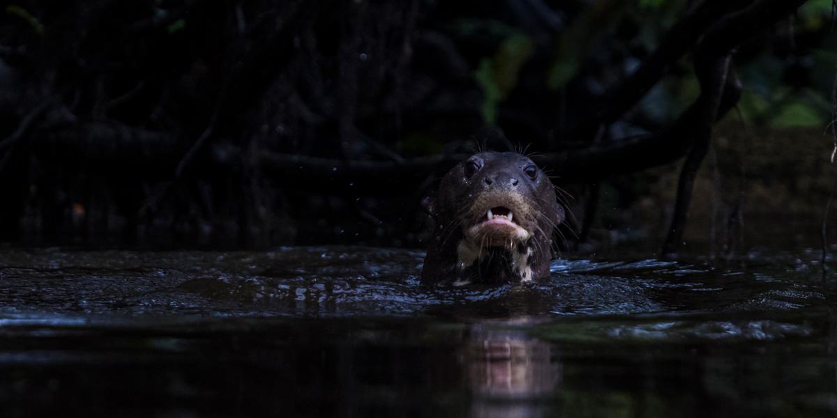 Após morte de filhote resgatado, pesquisador alerta sobre ameaças às ariranhas na Amazônia