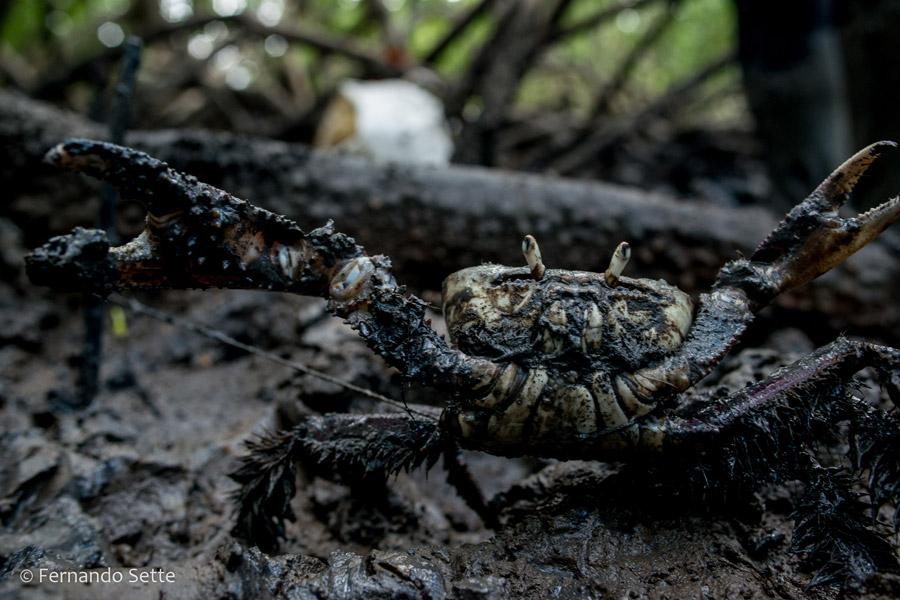 No Pará, Feira da Semana Santa leva caranguejos-uçá direto dos produtores ao consumidor